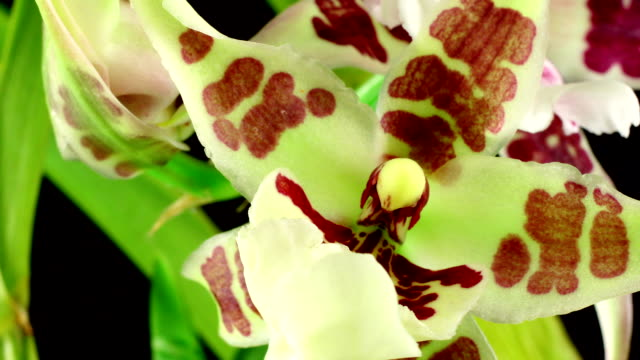 Miltonia orchid blooming in time lapse
