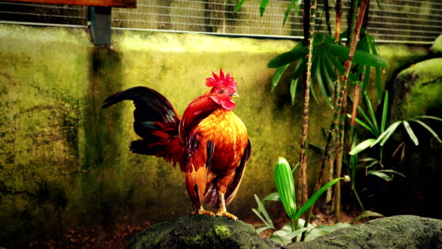 mini rooster crowing in early morning video