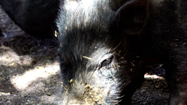 Miniature pigs close-up video
