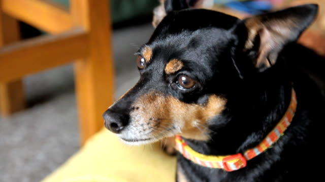 zwergpinscher hund sieht und wissbegierig - starren stock-videos und b-roll-filmmaterial