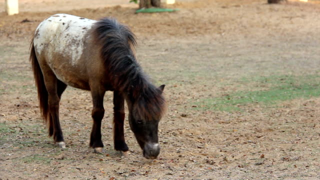 Miniature pony horse eating grass video