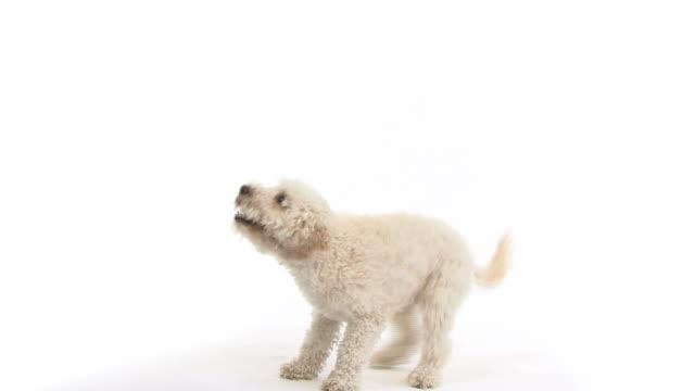vídeos de stock, filmes e b-roll de miniatura de poodle, 2 anos de idade, saltar em - fundo branco