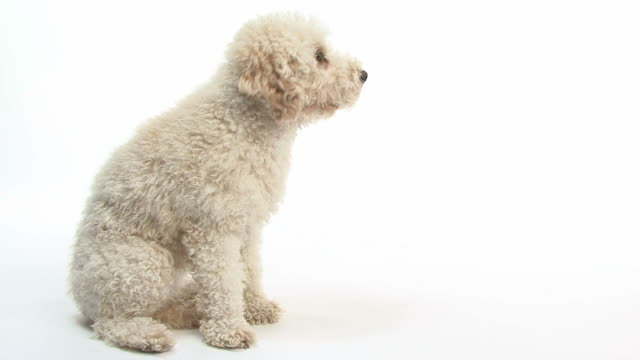 Miniature Poodle sitting and giving paw Miniature Poodle sitting and giving paw in front of white background paw stock videos & royalty-free footage