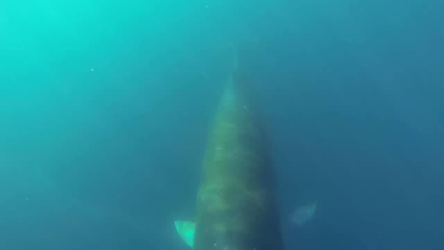 Minke whale swimming underwater video