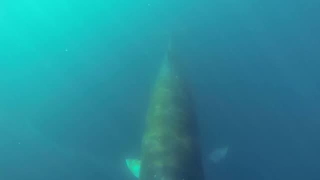 Ballena de minke nadando bajo el agua - vídeo