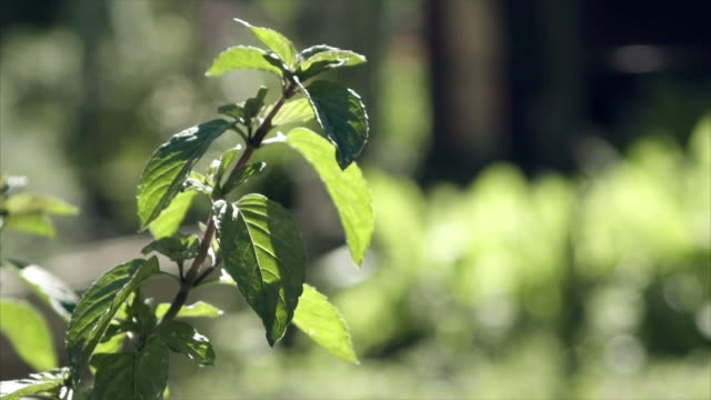 Mint carried by the wind video