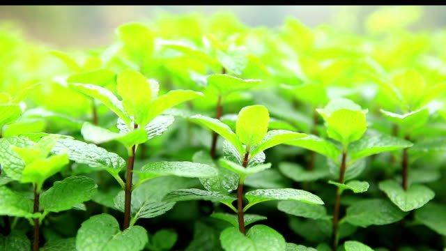 mint plant grow at vegetable garden video