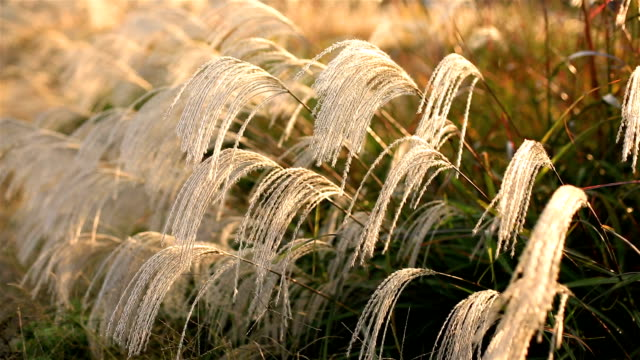 Miscanthus against the setting sun. video