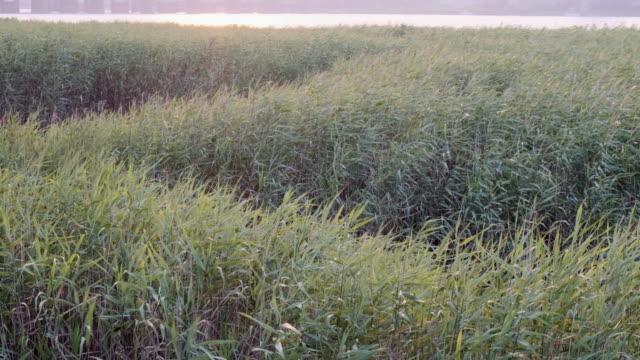 湿原の夕暮れの風に揺れるススキがクラスター化 ビデオ