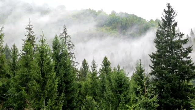 Mist among coniferous trees video