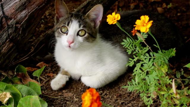 комбинированные выведенные котенок положении лежа, глядя вокруг; - кошка смешанной породы стоковые видео и кадры b-roll