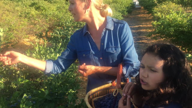 Mixed race family pick blueberries, at organic farm