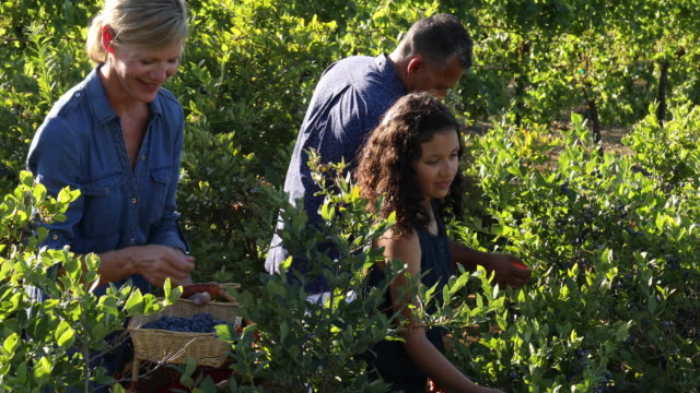 blandad ras familj plocka blåbär, på ekologisk gård - enbarnsfamilj bildbanksvideor och videomaterial från bakom kulisserna