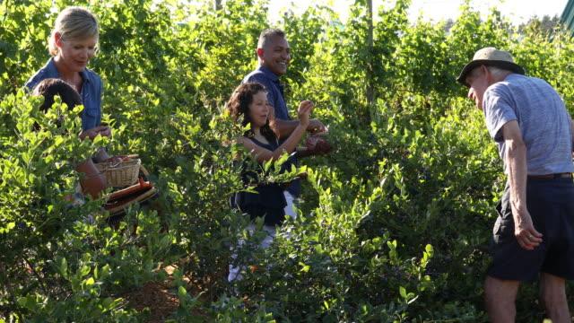 vídeos de stock e filmes b-roll de mixed race family pick blueberries, at organic farm - picking fruit