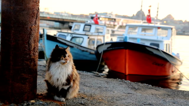 Mixed-breed cat in Karaköy port HD 1920x1080 / 25p / Photo-JPEG / Real Time tortoise shell stock videos & royalty-free footage