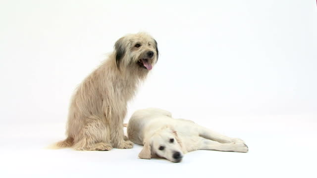 Mixed-Breed dog and golden retriever video