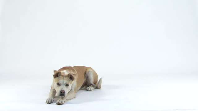 Mixed-Breed Dog coming, sitting, lying down, barking, getting-up and leaving video