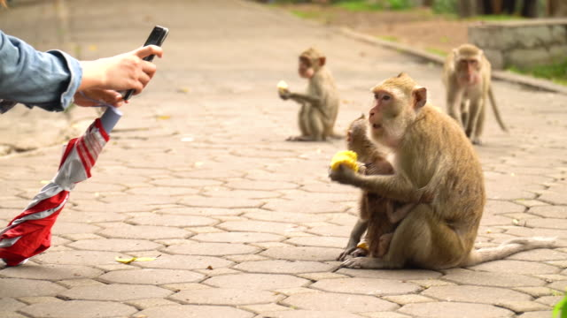 mobile phone to taking the photo of monkeys - scimmia video stock e b–roll