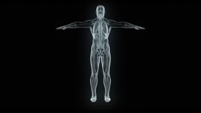 vídeos de stock, filmes e b-roll de modelo de corpo masculino de raio-x - estrutura física