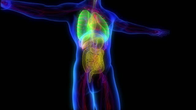 Model of x-ray male body