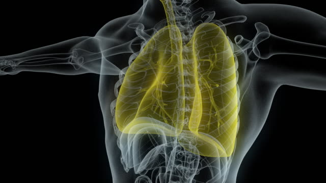 Model of x-ray male body with yellow lungs