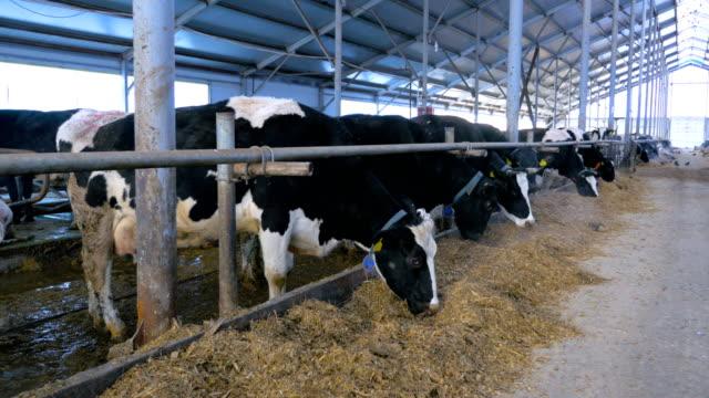 modern farm. cows in stable eating. - żywy inwentarz filmów i materiałów b-roll