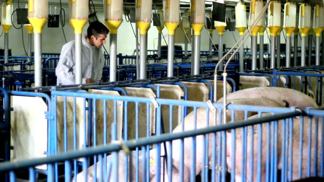 Modern Pig Farm video