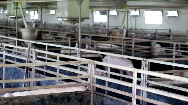 maiale moderno allevamento - ispettore della qualità video stock e b–roll