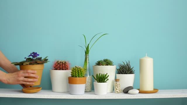 vídeos de stock e filmes b-roll de modern room decoration with picture frame mockup. white shelf against pastel turquoise wall with collection of various cactus and succulent plants in different pots. hand is watering them. - flower white background