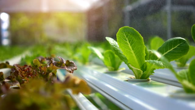 Modern vegetable farm, Water springer, spray watering to hydroponics organic vegetable farm. Modern vegetable farm, Water springer, spray watering to hydroponics organic vegetable farm. hydroponics stock videos & royalty-free footage