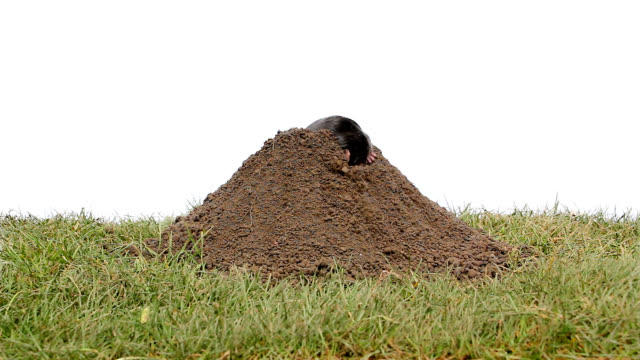 Mole getting out a mound of soil video