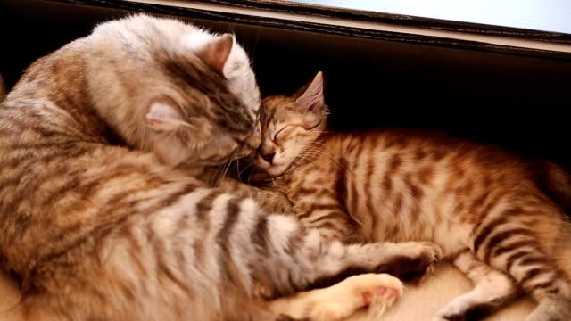 mom cat licking kitten - leccare video stock e b–roll