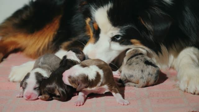 vídeos y material grabado en eventos de stock de madre el perro cuida de los cachorros recién nacidos. cuidado de las crías - animal joven