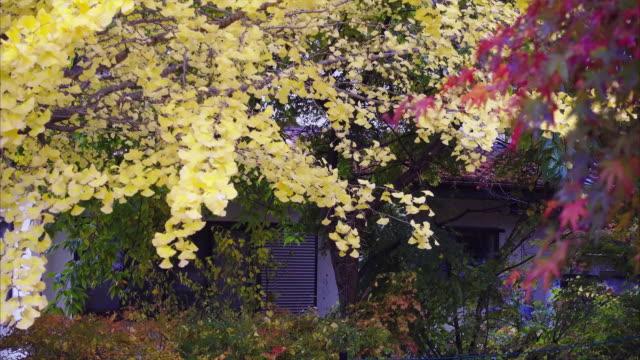 momiji maple tunnel in autumn season - maple leaf stock videos & royalty-free footage