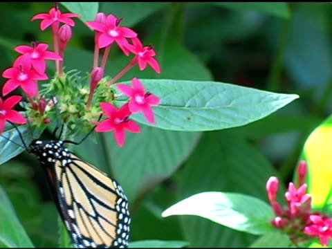 farfalla monarca 1 ntsc - appollaiarsi video stock e b–roll