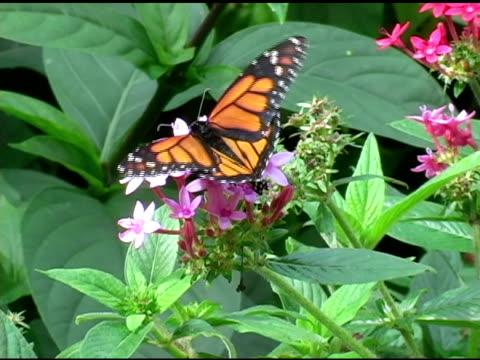 Monarch Butterfly 3 NTSC video