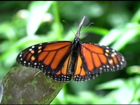 farfalla monarca 4 ntsc - appollaiarsi video stock e b–roll