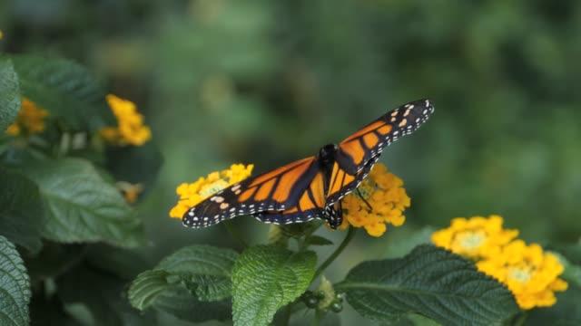 monarkfjäril och gula blommor - djurkroppsdel bildbanksvideor och videomaterial från bakom kulisserna