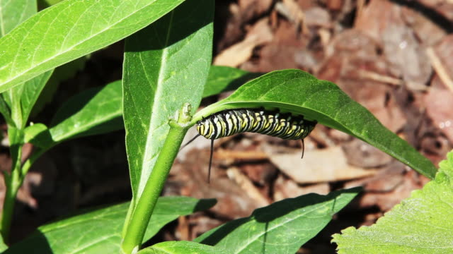 Monarch Butterfly Caterpillar Eating a leaf Monarch butterfly Caterpillar eating a leaf on a windy day butterfly insect stock videos & royalty-free footage