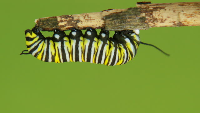 stockvideo's en b-roll-footage met monarch butterfly caterpillar - rups
