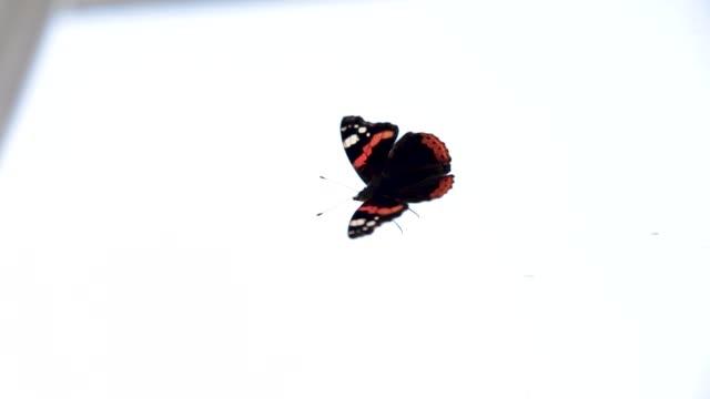 monarch butterfly climbs on the window - io księżyc filmów i materiałów b-roll