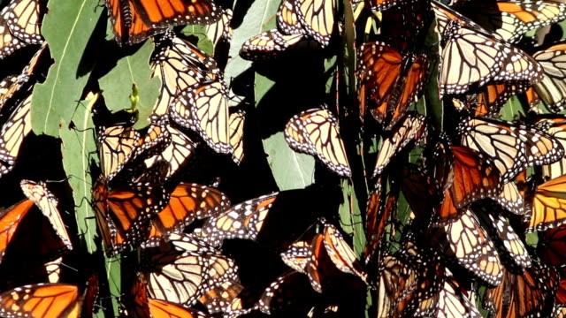 vídeos de stock, filmes e b-roll de borboleta monarca agrupamento - punhado
