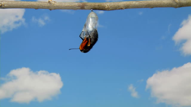 monarch butterfly emerging from chrysalis time lapse - butterfly stock videos and b-roll footage