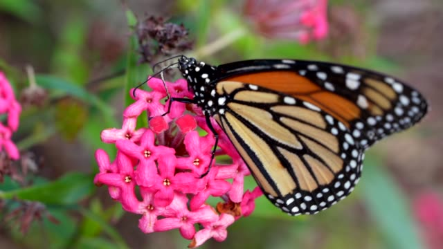 monarch butterfly feeding on a blooming flower