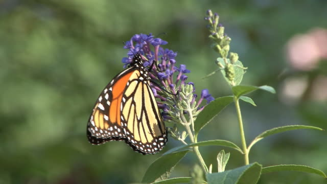 Monarch butterfly feeding on purple flower video