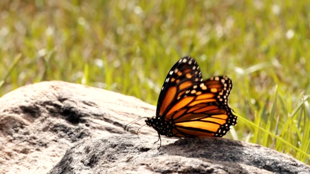 monarch butterfly fliegt in zeitlupe vom rock ab. - filmmusik stock-videos und b-roll-filmmaterial