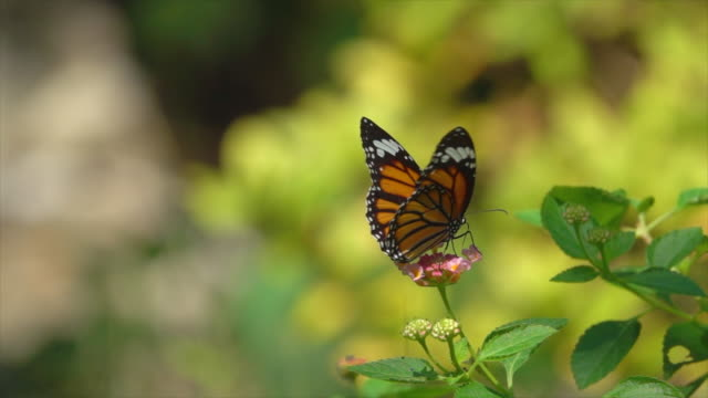 Monarch Butterfly Fly On Small Pink Flower Slow Motion