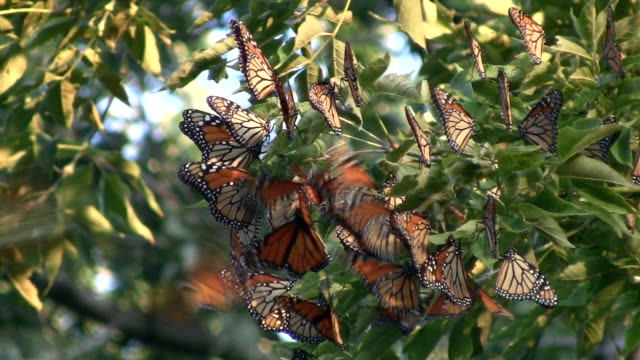 cluster di migrazione delle farfalle monarca - farfalla ramo video stock e b–roll