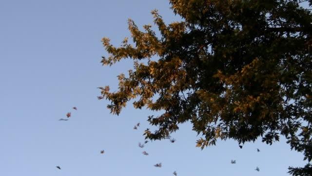 farfalla monarca migrazione - farfalla ramo video stock e b–roll