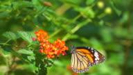 istock Monarch Butterfly On Orange Flower 1226588538